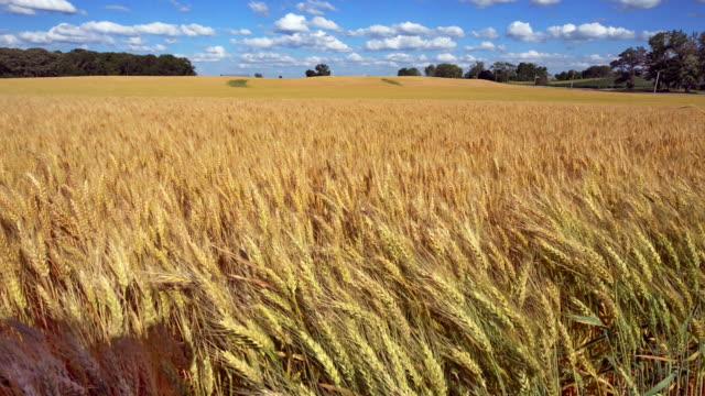 Summer Wheat Field Blowing in Wind