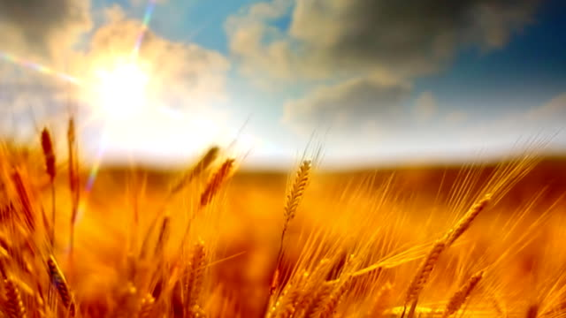 Sun and golden crops