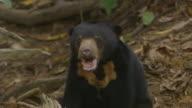 CU Sun bear eating and looking / Sandakan, Sabah, Malaysia