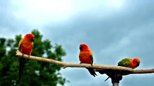 Sun Conure Parrot on Wooden Beam