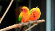 Sonnensittich Parrot