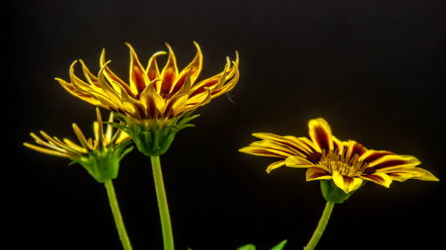 Sun Flower - Gazania blooming against black background.