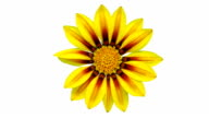 Sun Flower - Gazania blooming in a time lapse video on a white background. Alpha channel included.