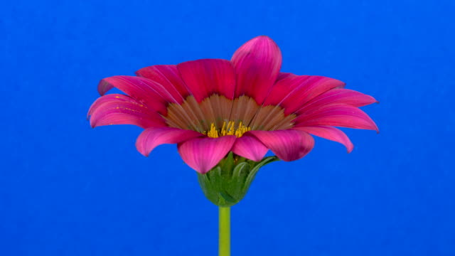 Sun Flower - Red Gazania blooming against chroma key background