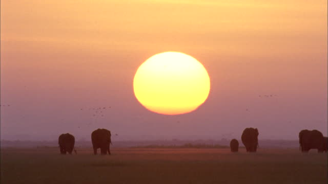 Sun hangs low over elephants silhouetted on savannah, Africa Available in HD.