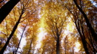 SLO MO Sun illuminated autumn treetops