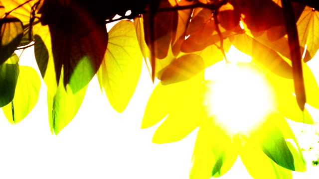 sun light and leaf in vintage tone