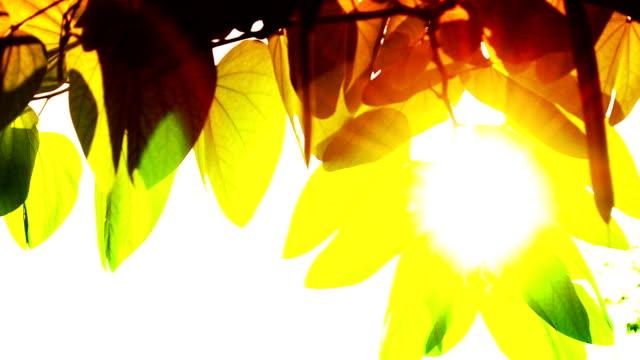 Sonne Licht und Blatt in-Ton