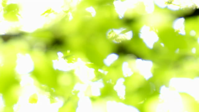 Sun shining through beech leaves rack focus