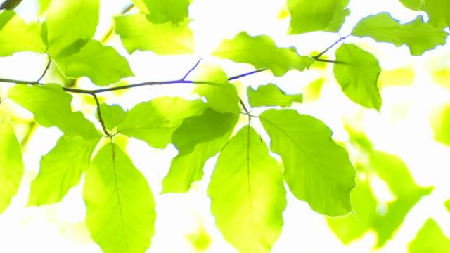 Sonne scheint durch die beech Blätter