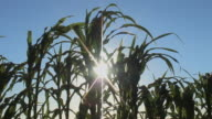 MS, LA, Sun shining through corn stalks, Red Bluff, California, USA