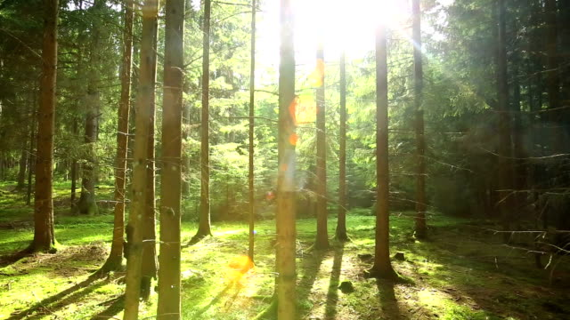 Sun Shining Through Forest Tracking Shot