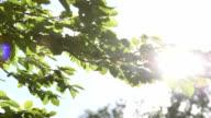 Sun shining through green tree tops