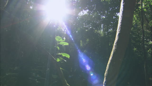 PAN Sun shining through tall, dense trees in a forest / Belize