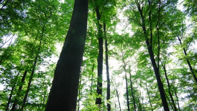 GIMBAL Sonne scheint durch die Baumwipfel im Frühjahr Wald (UHD