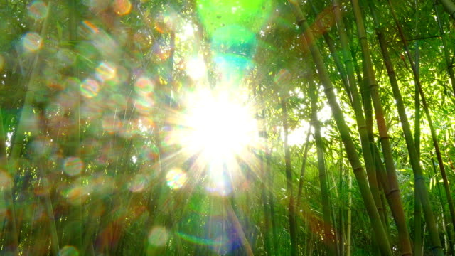 sun through the bamboo forest
