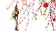 Sunbird bird feeding baby in sagura trees.