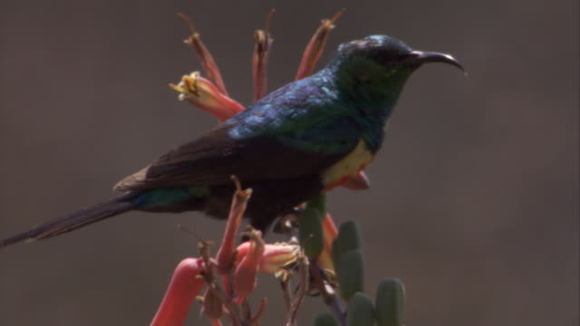 Sunbird takes off from flower. Available in HD.