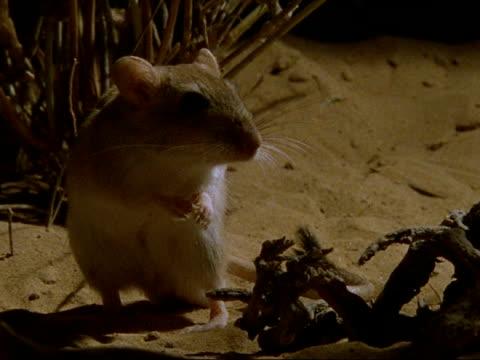 CU Sundevall's Jird standing alert in desert at night, Oman