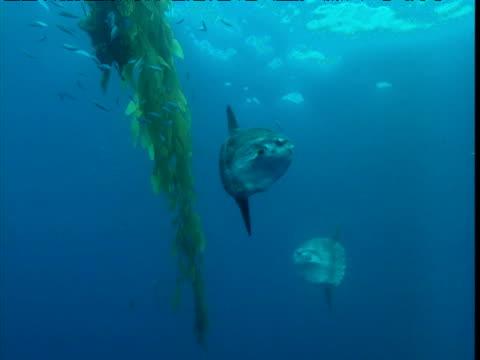 Sunfish swim around kelp, California