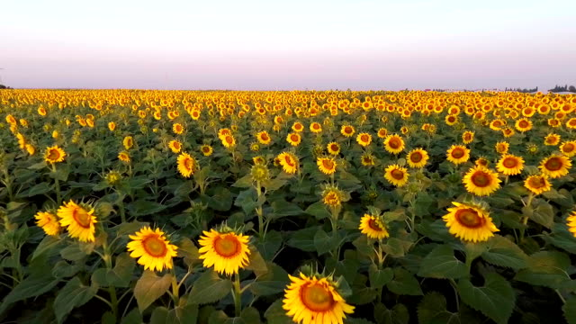 Sunflower Aerial View