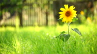 Sunflower and grass