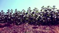 Sunflower and soil