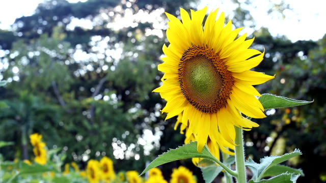 Sunflower blooming in the morning