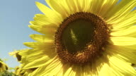 CU Sunflower blowing in wind / Lit-et-Mixe, Aquitaine,  France