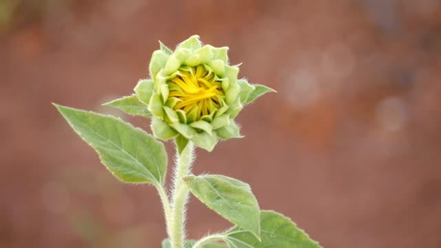 Sunflower bud against