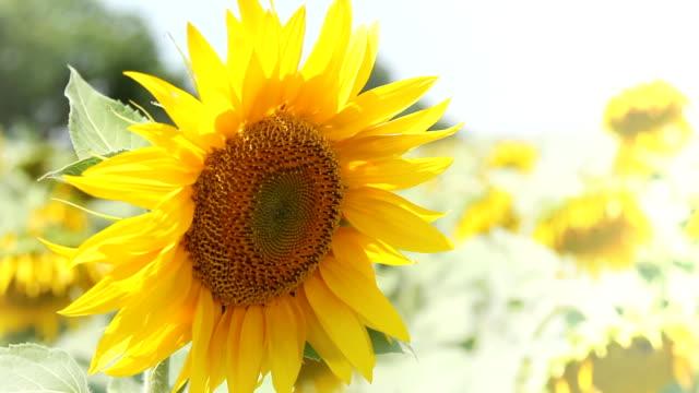 Sunflower close up - copy space