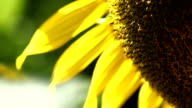 Sunflower, close-up scene