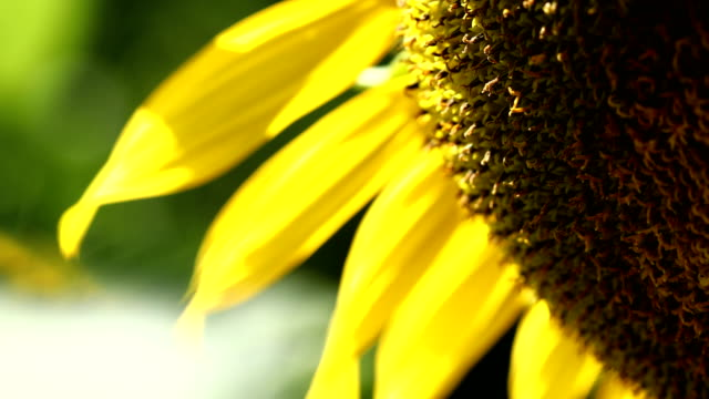 Sunflower, close-up scene