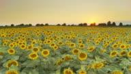 HD CRANE: Sunflower Field At Dusk