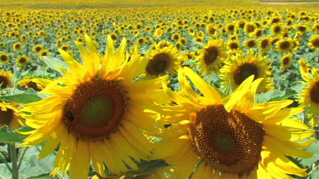 Sunflower field - farming