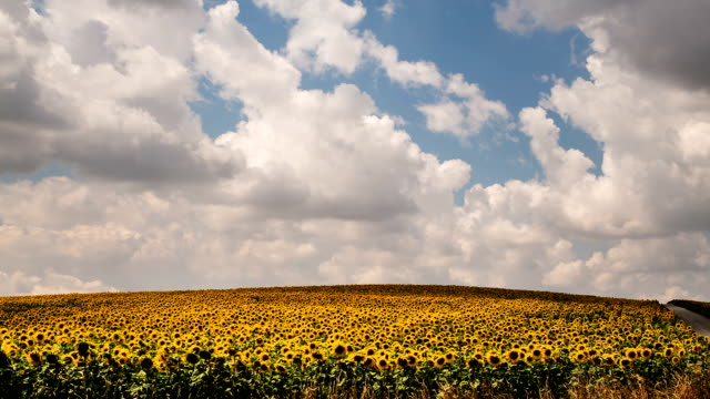 Sunflower Field - Time Lapse