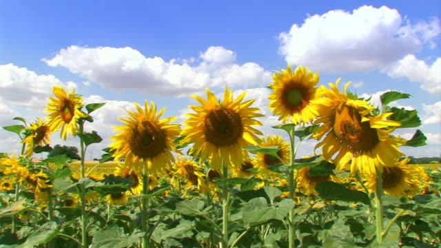 Sunflower field with blue sky