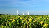 Sunflower Feld mit Kohle befeuerte Kraftwerk im Hintergrund.
