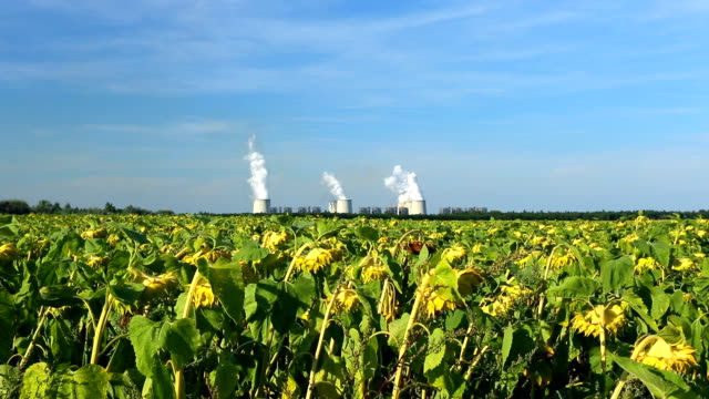 Sunflower field with coal-fired power plant in the background