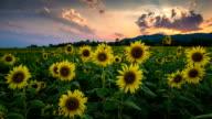 Sunflower garden nel tardo pomeriggio