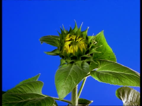 T/L MCU Sunflower opening to camera, blue background