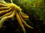 A sunflower seastar creeps over kelp on the seabed.