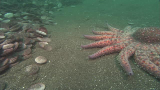 Sunflower seastar (Pycnopodia helianthoides) feeds on sand dollars (Clypeasteroida) on sea bed, California, USA
