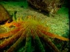 A sunflower seastar moves across the ocean floor.