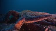 Sunflower seastar (Pycnopodia helianthoides) on sea bed, California, USA