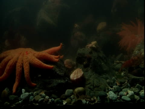 A sunflower seastar scares away scallops from a bed on the ocean floor.
