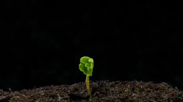 Sunflower seed growing, black background, time lapse