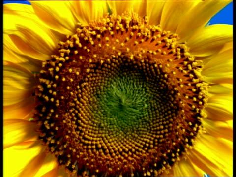T/L - BCU Sunflower stamens opening