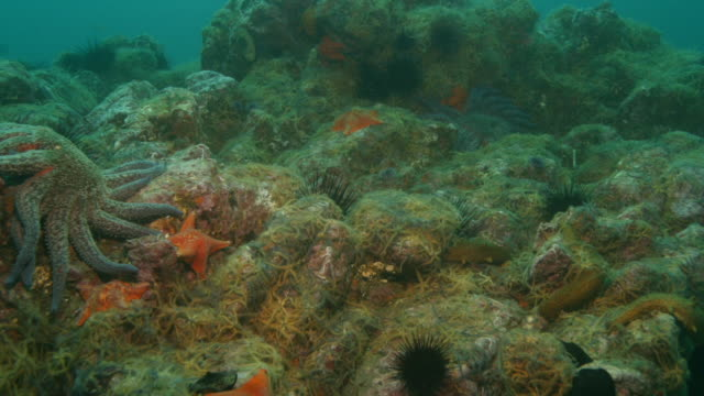 Sunflower starfish, brittle stars and sea urchins move over rocks on a seabed. Available in HD.