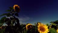 Sunflower Starlight